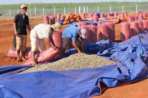 Farmers Are Drying Cashew Nuts On The Field.
