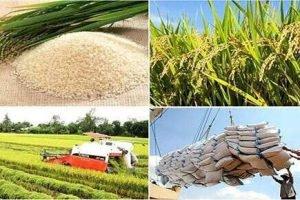 Rice Export 1H 2020 Bigitexco - Bigitexco Vietnam Cashew Nut - Pepper - Dried Fruit Company