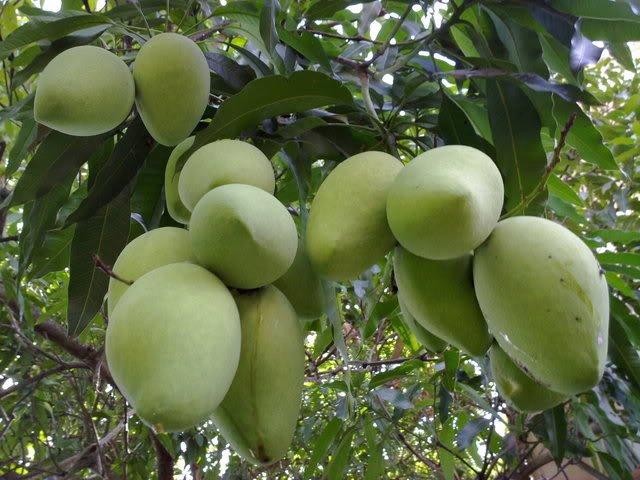Xoai Cat Hoa Loc Mango Hoa Loc - Bigitexco Vietnam Cashew Nut - Pepper - Dried Fruit Company